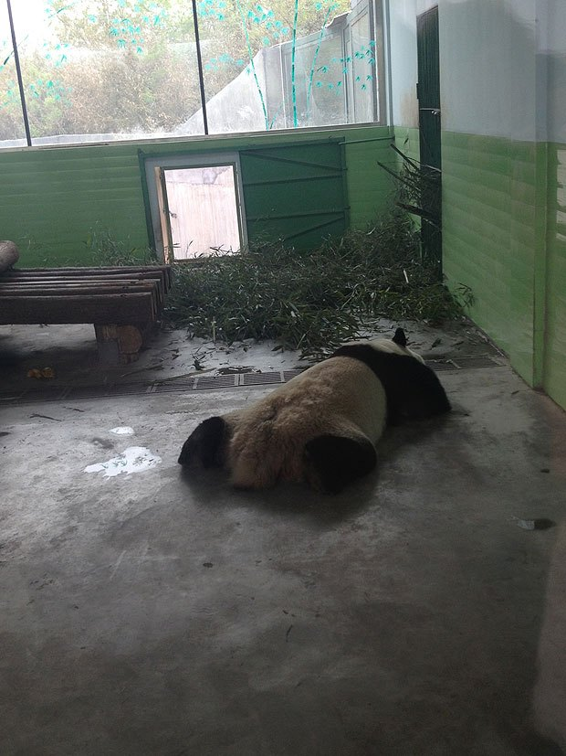 Pandas in Beijing Zoo